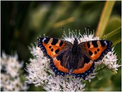 Small Tortoiseshell Butterfly on white Sedum (Unni Henning) Tags: smalltortoiseshell colourful garden macro closeup depthoffield bokeh warwickshire england sedum latesummer autumn