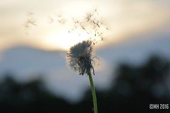 9 (mercedes1790) Tags: dandelion lwenzahn pusteblume nature natur austria