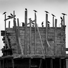 There is a perch for us, somewhere (Fortunes2011. Closure of 6 years) Tags: fortunes2011nikon birds crows perch bw blackandwhite blackwhite monochrome square squareformat 11 5x5 1x1
