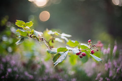 Berries (katarri) Tags: nikon nikond750 d750 nikkor 50mm 14 nature flora natural wild wildness woods forest berries wildberries red green bokeh fruit fruits heather moor pink violet leaf leaves blueberry blueberries berry poland polska september autumn fall flower flowers