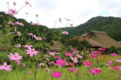 Countryside (Teruhide Tomori) Tags: roof architecture building house construction tradition wooden japan kyoto countryside miyama        cosmos nature autumn