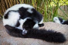 Sleeping beauty (EiaOlaf) Tags: lemure wild animal zoom zoo torino turin lightroom canon nikcollection viveza contrast structure color sleeping beauty