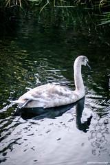 cygnet on the canal (welshside) Tags: swan cygnet bird wildlife nature newport malpas canal