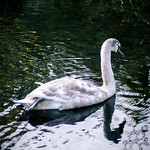 cygnet on the canal