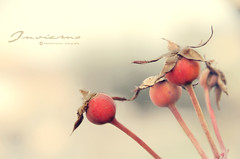 Invierno ... (Maril Irimia) Tags: winter naturaleza cold nature nikon invierno fro rosehips softcolors escaramujo coloressuaves mygearandme marilirimia marilirimiafotografa rememberthatmomentlevel1 creativephotocafe besteverdigitalphotography