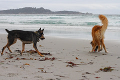 IMG_6773.jpg (jdehaan) Tags: dog dogs mort tigger kelpie tig rescuedog australiankelpie shelterdog adopteddog englishshepherd kelpiemix