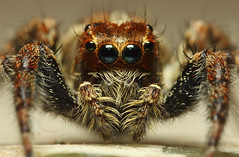 Jumping Spider Close Up (karthik Nature photography) Tags: portrait macro nature animals closeup forest canon garden spider outdoor spiders wildlife web spiderweb insects jumpingspider macrophotography closeupphotography salticidae sigma105mm animalworld spiderworld raynoxdcr250 insectphotography macrolife spiderphotography beautifulspiders jumpingspidercloseup beautifuljumpingspiders