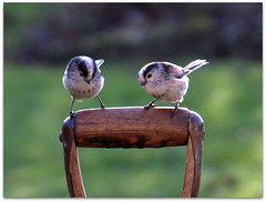 Two of a kind! (macfudge1UK) Tags: uk winter england bird fauna europe wildlife ngc perch oxfordshire avian oxon birdwatcher longtailedtit aegithaloscaudatus rspb 2013 allrightsreserved fantasticnature flickraward xs1 goldwildlife 100commentgroup flickrawardgallery bbcwinterwatch rspblovesnature fujixs1 fujifilmxs1 rspbgreenstatus fujifilmfinepixxs1 finepixxs1