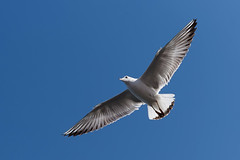 #850E4014 - The wings (crimsonbelt) Tags: park sea nature creek flying wings dubai wildlife gull