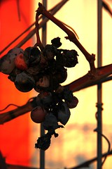 #project2013.022 One day, baby, we'll be old. (Cristian tefnescu) Tags: old winter alt grapes trauben trocken vechi uscat iarn struguri stafide asafavidan