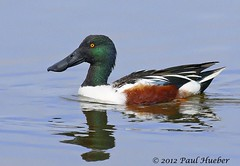 Northern Shoveler male (Anas clypeata) (Paul Hueber) Tags: bird birds duck florida wildlife aves ave handheld nosh waterfowl northern anas northernshoveler shoveler avian brevard merrittisland centralflorida anasclypeata clypeata merrittislandnationalwildliferefuge brevardcounty