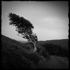 windswept (pix-4-2-day) Tags: windswept tree isle man iom black white road hill pix42day
