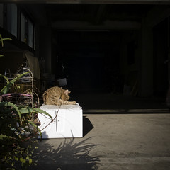Asakusa Feline ( ) Sunning and Grooming (jacob schere [in the 03 strategically planning]) Tags: sun plant japan digital square groom tokyo aloe feline jacob 4 lick communication grooming gr asakusa lucid  iv licking ricoh  sunning m2c  schere  dgr jacobschere catnipaddicts lucidcommunication