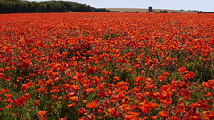 _1690710 (fOtOmoth) Tags: flowers red summer england flower field farming poppy poppies wiltshire poppyfield redpoppyfield ilobsterit
