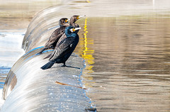 Cormorants at the Bess river -6- (Paco CT) Tags: barcelona bird animal rio river spain agua meetup ave kdd esp besos riu 2013 pacoct riobess