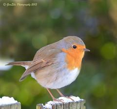 Robin Getting Cold Feet (GemElle Photography - away) Tags: red orange snow bird robin nikon feath