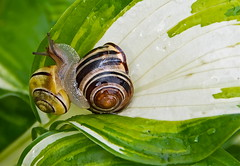 Hugs on a rainy Day! (ineedathis) Tags: macro colors leaf hugs hosta snails mollusc cepaeahortensis gardensnails darklippedbandedsnail nikond80 grovesnail whitelippedbandedsnail hugsoflove
