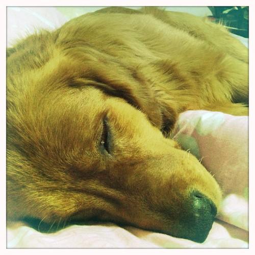 大黄狗累了。