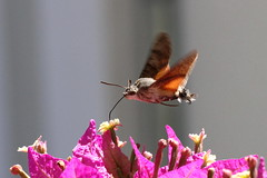 Hummingbird Hawkmoth, Orebic, Croatia (Andy_Hartley) Tags: