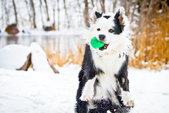 2/12 Cuz'ed it! (Anda74) Tags: snow action catch bordercollie fetch ouzo cuz canonef70200mmf4lusm 12monthsfordogs13