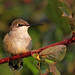 Female Ruby-throated Hummingbird...#3