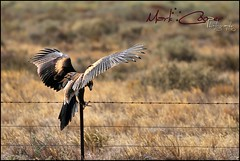 Spread Your Wings (Mark-Cooper-Photography) Tags: road bird canon fence spread wings wire highway open eagle australia landing nsw wedged outback 2711 hay barbed tailed 400mm wedgetailedeagle sturt wedgy balranald 550d yanga ef400mmf56l t2i hayplains eos550d markcooperphotography