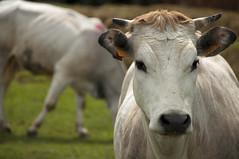 MUUUUUUUU (gviarizzo) Tags: mucca prato corna vacca pratoverde muccabianca
