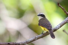 Social Flycatcher / Myiozetetes similis (peter.lindenburg) Tags: panama gamboa socialflycatcher myiozetetessimilis myiozetetessimiliscolumbianus