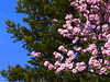 Reaching Out (outdoorPDK) Tags: springblossoms floweringplum