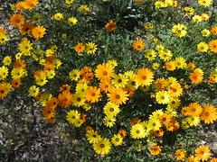 IMG_9098 (morecacti) Tags: yellow desert orangeflower africandaisy yellowflowers desertflower desertflowers africandaisies yellowflowering orangeflowering