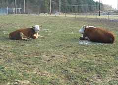 Cows Having a Lazy Day (Mr. Ducke) Tags: winter field cows