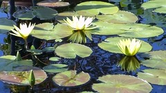 Water Lilies in the Sunshine [video] (Demmer S) Tags: summer plants sun plant motion flower reflection green nature water leaves sunshine reflections movie botanical reflecting moving leaf video movement flora waterlily lily blossom gardening floating sunny move foliage reflect watergarden lilies waterlilies botanic summertime hd flowing aquatic lilypads 169 lilypad nymphaea quicktime mov blooming waterplant 720p nymphaeaceae pondplants aquaticplant watergardening 1280x720 pondplant watergardenplants