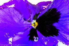 Violet Explosion (Cameron Knowlton) Tags: longexposure flowers abstract flower color colour macro up closeup nikon long exposure close violet super potd 105 supermacro 6t d600 achromatic