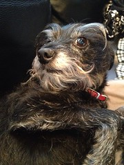 Half smile? Half stinkeye? (Lucyrk in LA) Tags: boy portrait dog pet chicago chihuahua black silly home dogs beautiful beauty smile animal animals puppy beard photography grey illinois mutt paw mine gbrearview sweet good son best il terrier blackdog photograph desi alive pup patch collar chicagoland skokie iphone chicagotribune chicagodogs goodboy chicagoist petportraits stinkeye bestdogever dogportrait redcollar skokieil iphoneography lucyrkinla uploaded:by=flickrmobile flickriosapp:filter=nofilter skokiepatch