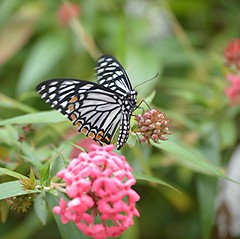 Black and white Common Mime with bright orange spotted wing markings (jungle mama) Tags: fairchildgarden fairchildtropicalbotanicgarden chilasaclytia tropicalbutterflies commonmime wingsofthetropics
