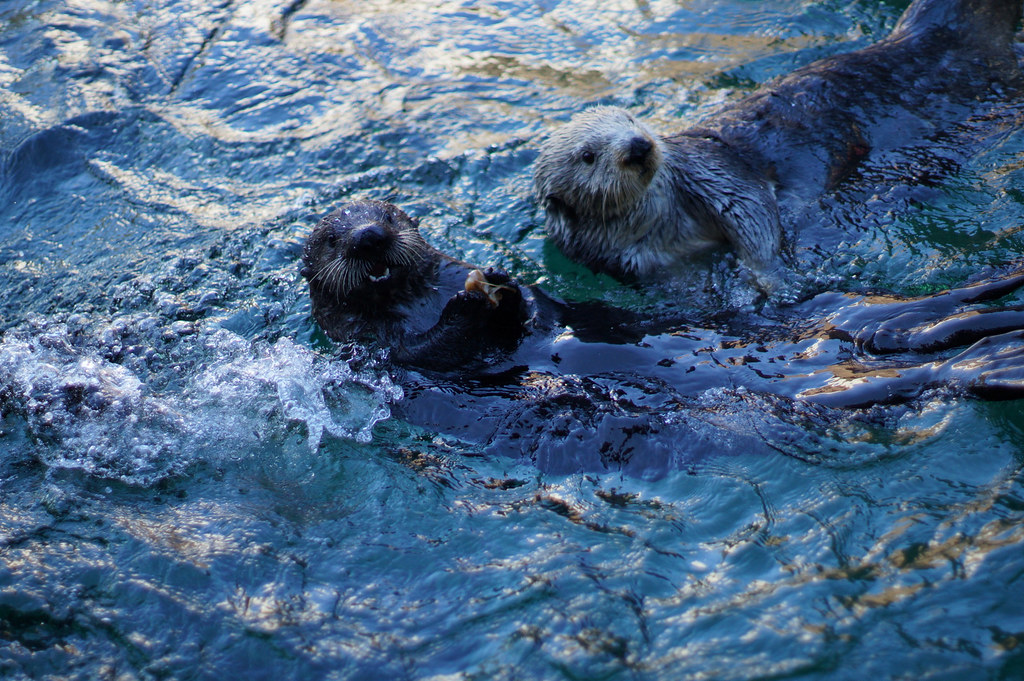 Sea otters being cute by Matthew Simantov, on Flickr