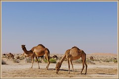 Camels in the desert (Indianature22) Tags: animal sand desert wildlife dunes dune uae dromedary camel oasis february camels sanddunes liwa liwaoasis emptyquarter rubalkhali arabiandesert 2013 moreeb shipofthedesert indianature arabiancamel desertanimal talmireb moreebdune  abudhabiemirate moreebdunes uaewildlife camelsinthedesert mireb  liwadunes