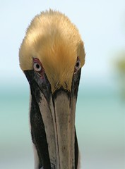Look Into My Eyes (PelicanPete) Tags: wild rescue pelicans gulfofmexico closeup king unitedstates florida release calm westside oldest southflorida floridabay rehabilitation patriarch naturalhabitat tavernier breedingplumage straighton thefloridakeys inthewild dominantmale nonprofitorg peacefulandcalm pelicanlife flkeyswildbirdcenter