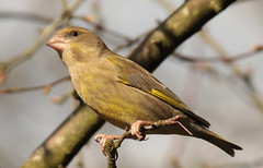 Greenfinch female (Elisabeth (Kelev, Tama, Mazal)) Tags: nature female garden greenfinch carduelischloris vrouwtje groenling