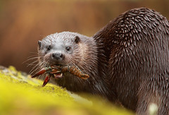 Otter Eating a Signal Crayfish (Dan