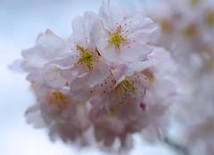 Sakura:樱花 (love_child_kyoto) Tags: flower macro nature spring kyoto may rainy 桜 cherryblossoms botanicalgarden 春 さくら 春雨 masterphotos 京都府立植物園 takenwithlove nikond800 mindigtopponalwaysontop マスター写真 ニコンd800