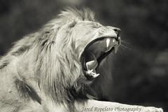 Naptime in the Lion's Den (Jared Ropelato) Tags: wild jared nature cat hair fur king natural sleep lion yawn kingdom safari sleepy jungle tired growl roar 2011 ropelato jaredropelato