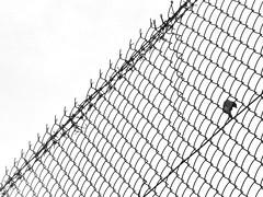 bird on a wire (life begins with 4t) Tags: travel blackandwhite bird art nature fence lumix photography wire maya philippines panasonic marikina wirefence 4t 4tsuarez fortunatocsuarezjr fortisuarez 4tsphotos