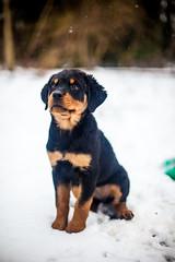 Sage (pyathia) Tags: puppy rott rottweiler sage rottie blackandtan purebred