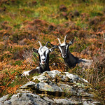 "Feral Goats, Diamond Hill <a style=""margin-left:10px; font-size:0.8em;"" href=""http://www.flickr.com/photos/89335711@N00/8596282854/"" target=""_blank"">@flickr</a>"