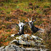 "Feral Goats, Diamond Hill<br /><span style=""font-size:0.8em;"">Connemara National Park, Letterfrack</span> • <a style=""font-size:0.8em;"" href=""http://www.flickr.com/photos/89335711@N00/8596282854/"" target=""_blank"">View on Flickr</a>"