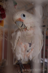 IMG_5333 (ReverieRevel) Tags: pet bird parrot boo cockatoo wetbird wetpet goffinscockatoo wetparrot wetcockatoo
