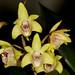 Den. specio kingianum x Den. gracilicaule - Janice Krause