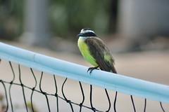 Flycatcher (Daggormet) Tags: wild bird net nature animal nikon costarica wildlife avian centralamerica flycatcher guanacaste nikond5200