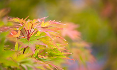 Multi-Colors Blend Leaves Branches 1 of 3 (Orbmiser) Tags: 55200vr d90 nikon oregon portland tree leaf leaves branches summer